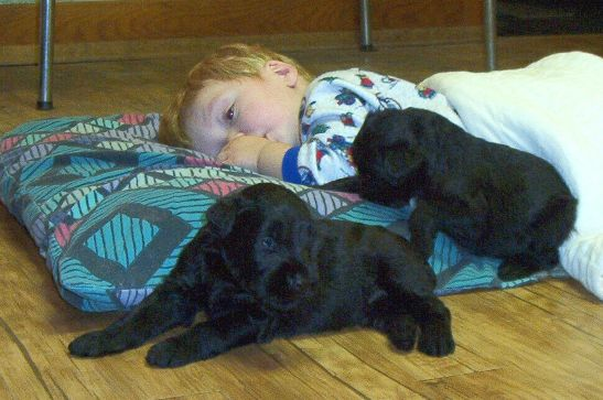 Hunter with Giant Schnauzer puppies